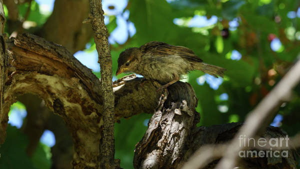 Photograph - Willow Sparrow Passer Hispaniolensis by Pablo Avanzini