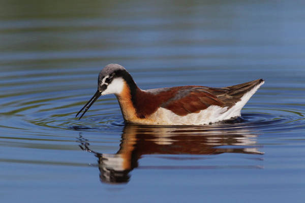 Forage Wall Art - Photograph - Wilson's Phalarope Foraging by Ken Archer