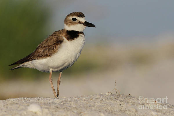 Photograph - Wilson's Plover by Meg Rousher