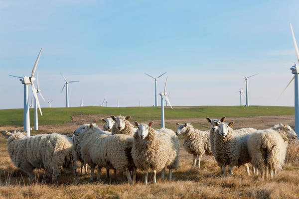 Winds Of Change Wall Art - Photograph - Wind Turbines & Sheep, Wales, United by Peter Adams