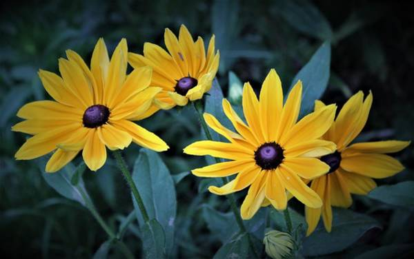 Wall Art - Photograph - Windswept Susans by Dora Sofia Caputo Photographic Design and Fine Art