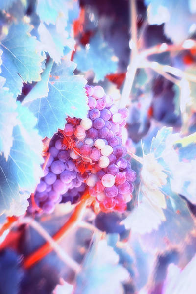 Wall Art - Photograph - Wine Before Its Time by Marnie Patchett