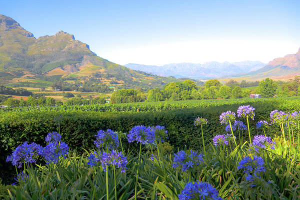 Agapanthus Photograph - Wine Country Scenic In Stellenbosch South Africa by David Smith