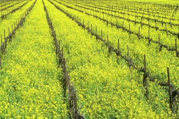 Napa Valley Photograph - Wine Fields In Spring, Napa Valley by Visionsofamerica/joe Sohm