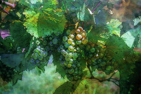 Photograph - Wine Grapes 2728 Idp_2 by Steven Ward