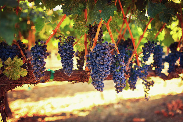Sonoma County Photograph - Wine Grapes by Thepalmer