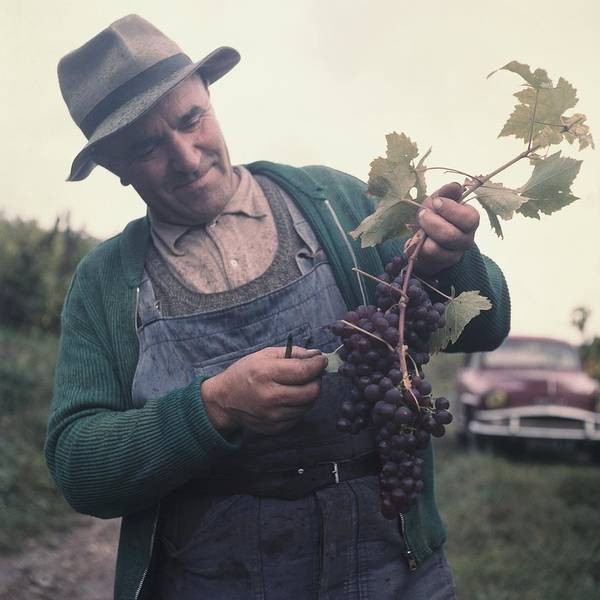 Sweater Photograph - Wine Grower Showing A Wine Grape In by Keystone-france