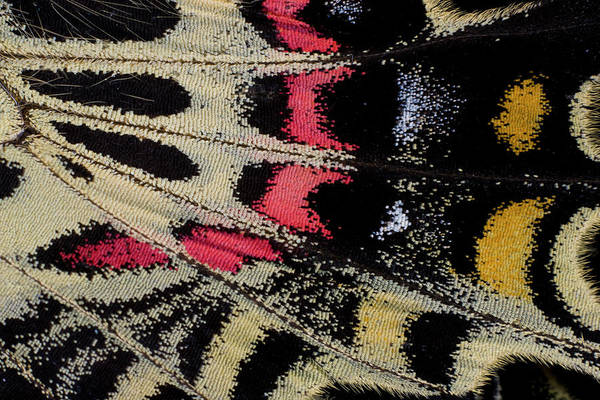 Butterfly Photograph - Wing Underside Close-up Bhutanitis by Darrell Gulin