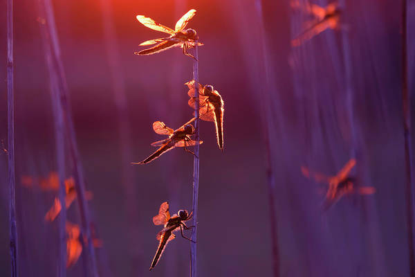 Wall Art - Photograph - Winged Wonders - Dragonflies At Sunset by Roeselien Raimond