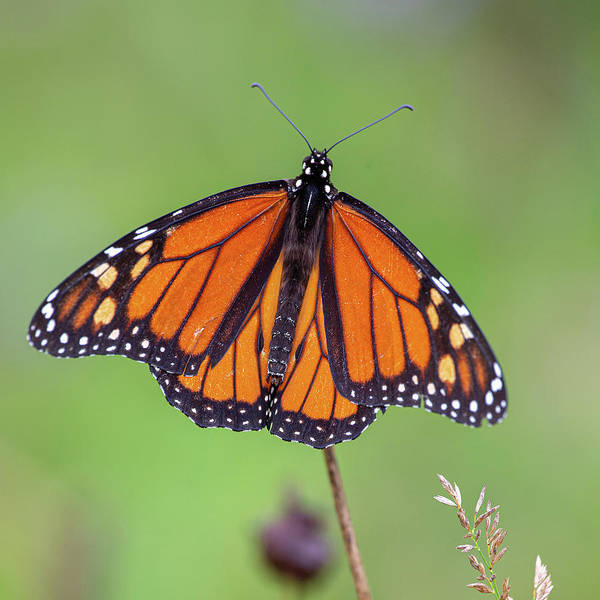Wall Art - Photograph - Wings Of A Monarch Butterfly by Dale Kincaid