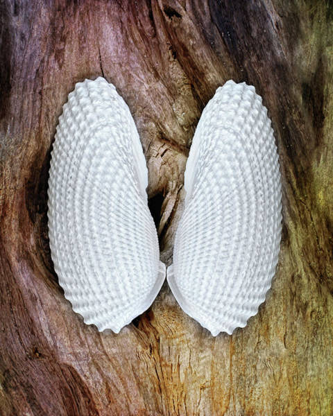Photograph - Wings Of Angels Seashells by Kathi Mirto