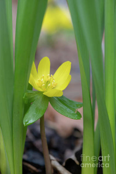 Photograph - Winter Aconite by Tim Gainey