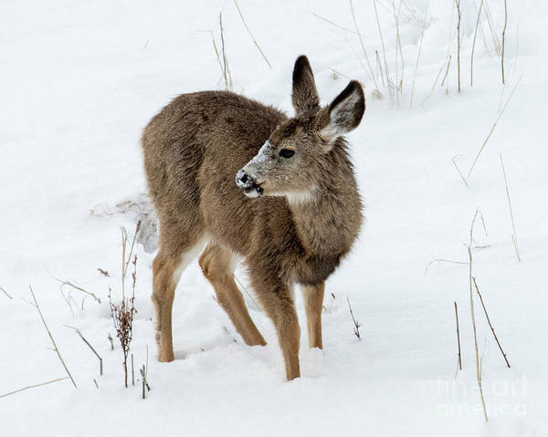 Winter Deer Photograph - Winter Bambi by Mike Dawson