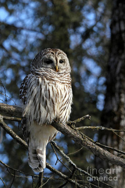 Wall Art - Photograph - Winter Barred Owl by Heather King
