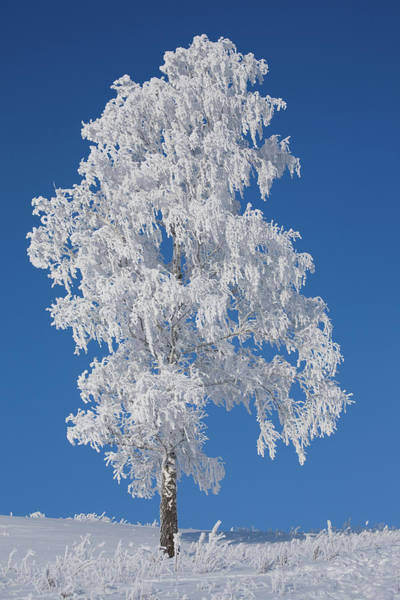 Polar Photograph - Winter Birch Tree by Luvo