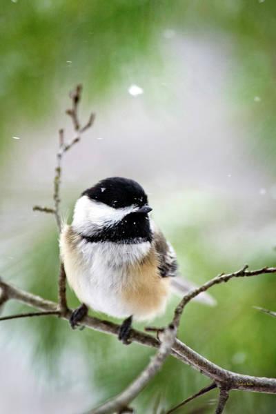 Photograph - Winter Black Capped Chickadee by Christina Rollo