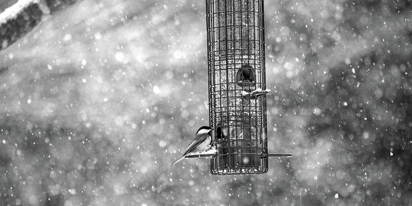 Wall Art - Photograph - Winter Blessing Chickadee by Betsy Knapp