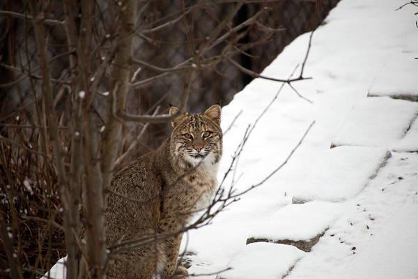 Wall Art - Photograph - Winter Bobcat by Karol Livote