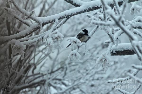 Photograph - Winter Chickadee by Ann E Robson