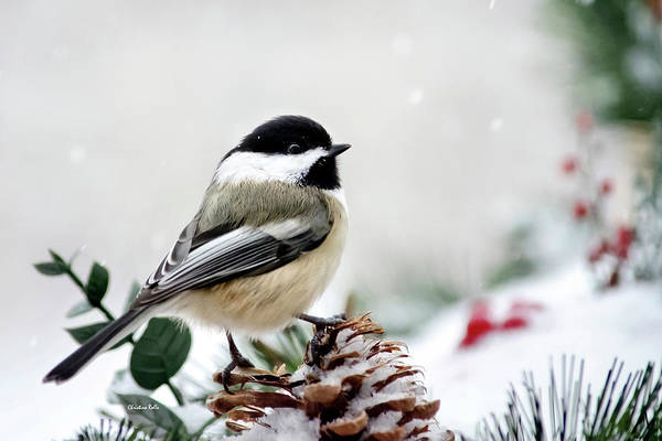 Wall Art - Photograph - Winter Chickadee by Christina Rollo