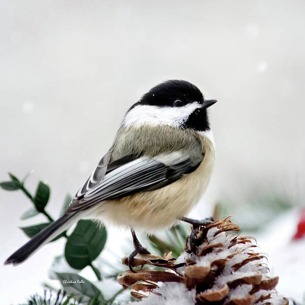 Wall Art - Photograph - Winter Chickadee Square by Christina Rollo