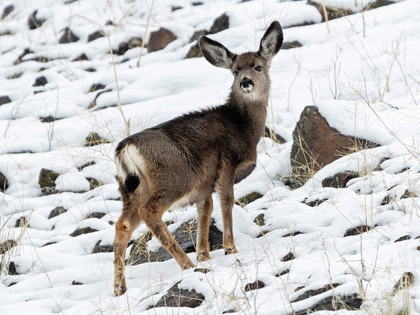 Winter Deer Photograph - Winter Coat by Mike Dawson