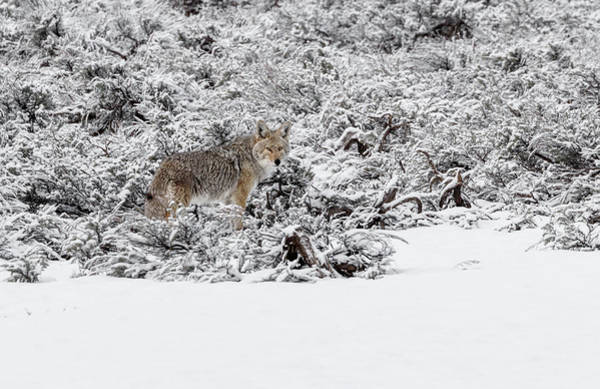 Photograph - Winter Coyote by Ronnie and Frances Howard