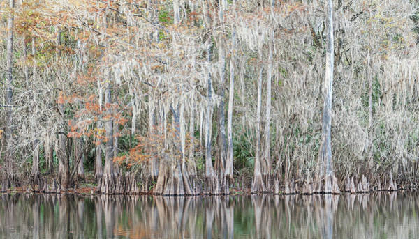 Photograph - Winter Cypress by Steven Sparks