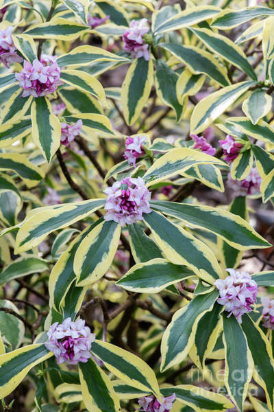 Photograph - Winter Daphne In Flower by Tim Gainey