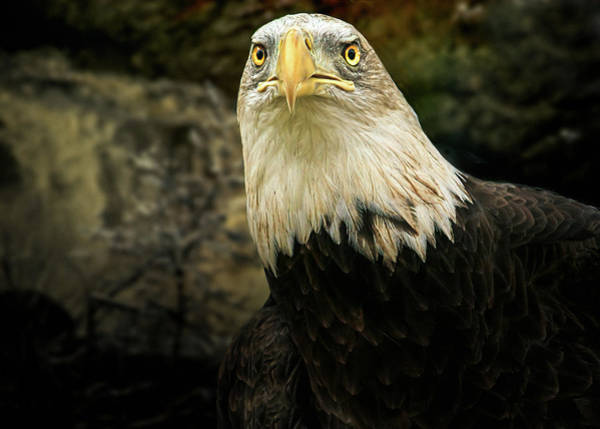 Photograph - Winter Eagle by Bob Orsillo