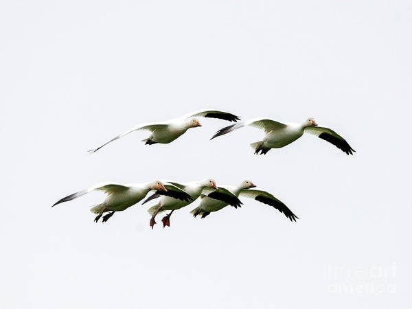 Snow Goose Photograph - Winter Five by Mike Dawson