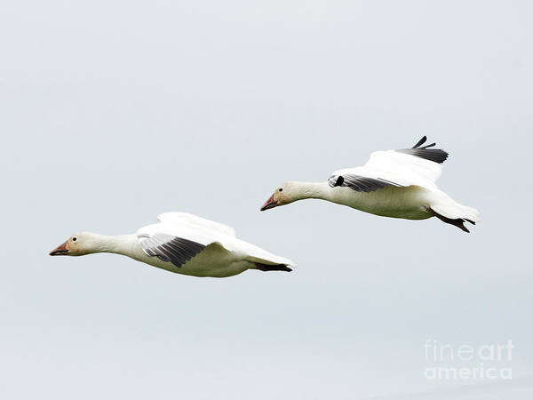 Snow Goose Photograph - Winter Glide by Mike Dawson