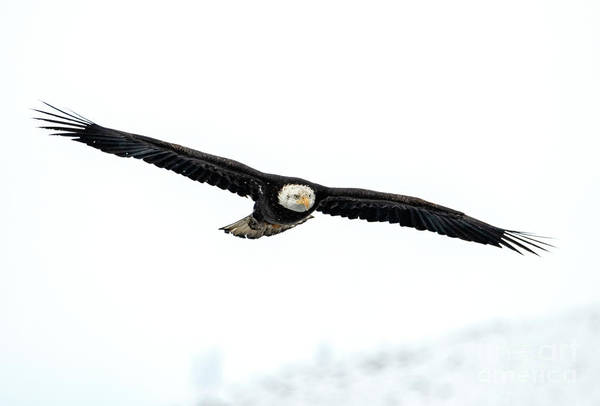 Soar Photograph - Winter Hunt by Mike Dawson