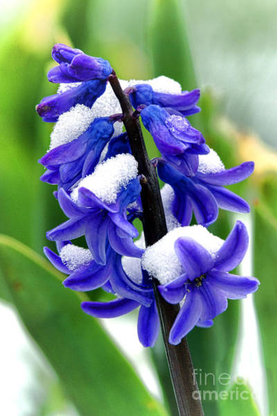 Wall Art - Photograph - Winter Hyacinth by Olivier Le Queinec