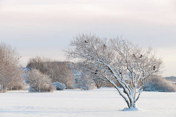 Hardwood Photograph - Winter Landscape With Crows by Martin Wahlborg