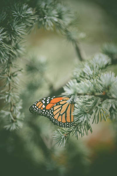 Photograph - Winter Monarch by Michelle Wermuth