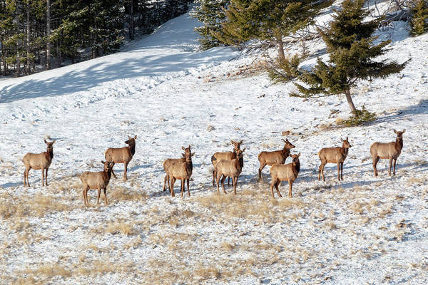 Photograph - Winter Morning Elk Herd by Steve Krull