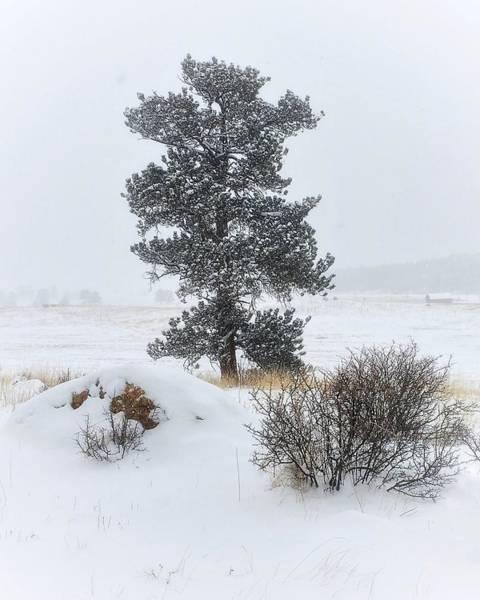 Photograph - Winter Pine by Dan Miller