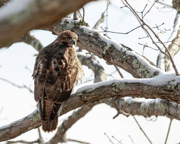 Photograph - Winter Red-tailed Hawk by Lara Ellis