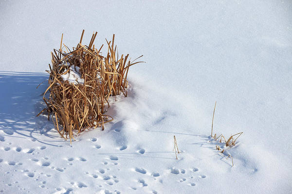 Photograph - Winter Reeds by Todd Klassy