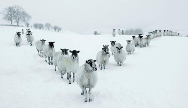 Mammal Photograph - Winter Sheep V Formation by Motorider