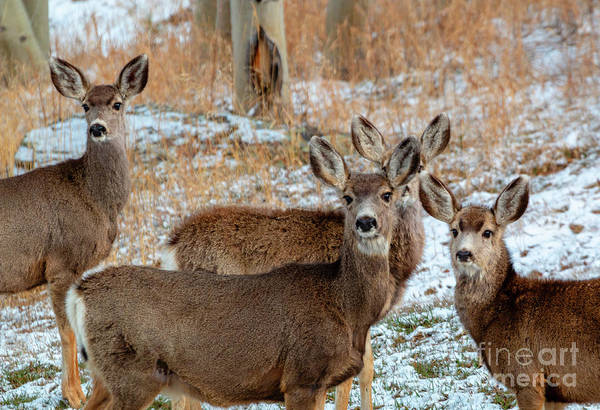 Photograph - Winter Storm Deer by Steve Krull