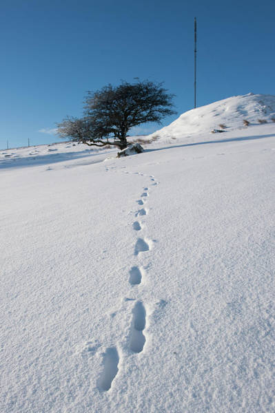 Photograph - Winter Tree And Footprints by Helen Northcott