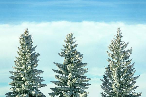 Photograph - Winter Tree Tops by Todd Klassy