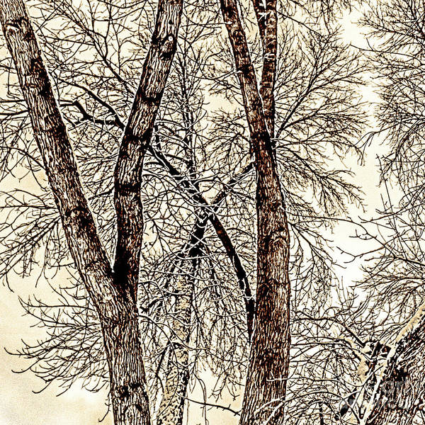 Photograph - Winter Trees by William Norton