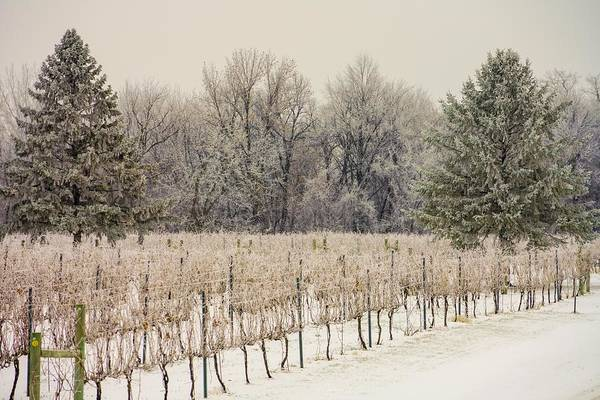 Photograph - Winter Vineyard by Susan Rydberg