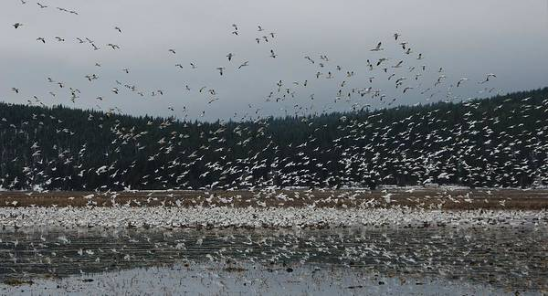 Wall Art - Photograph - Winter Wave Of Snow Geese by David Farlow