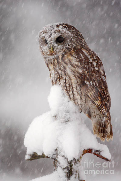 Wall Art - Photograph - Winter Wildlife Scene With Tawny Owl by Ondrej Prosicky
