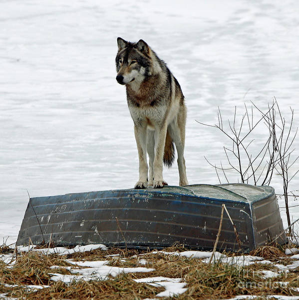 Wall Art - Photograph - Winter Wolf 4 by Steve Gass