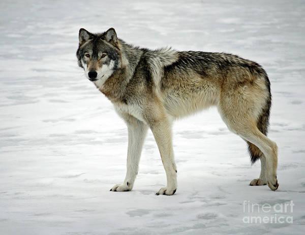 Wall Art - Photograph - Winter Wolf by Steve Gass